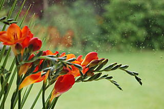 Rainy freesias