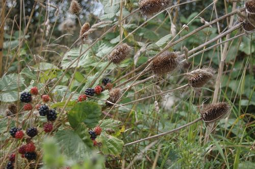 Berries and teasels