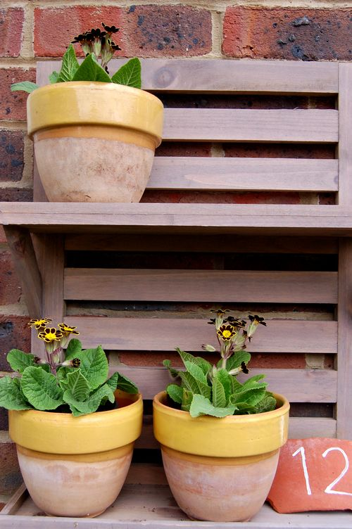 Auriculas on staging
