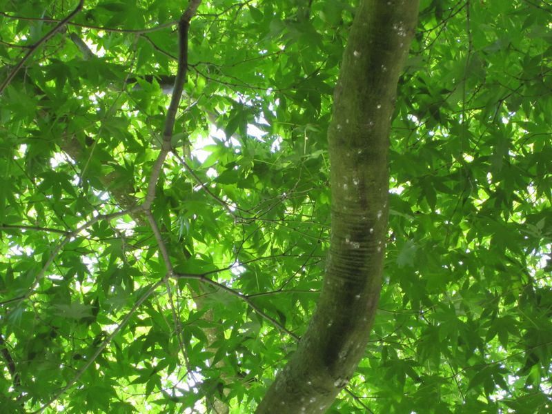 Maple looking up